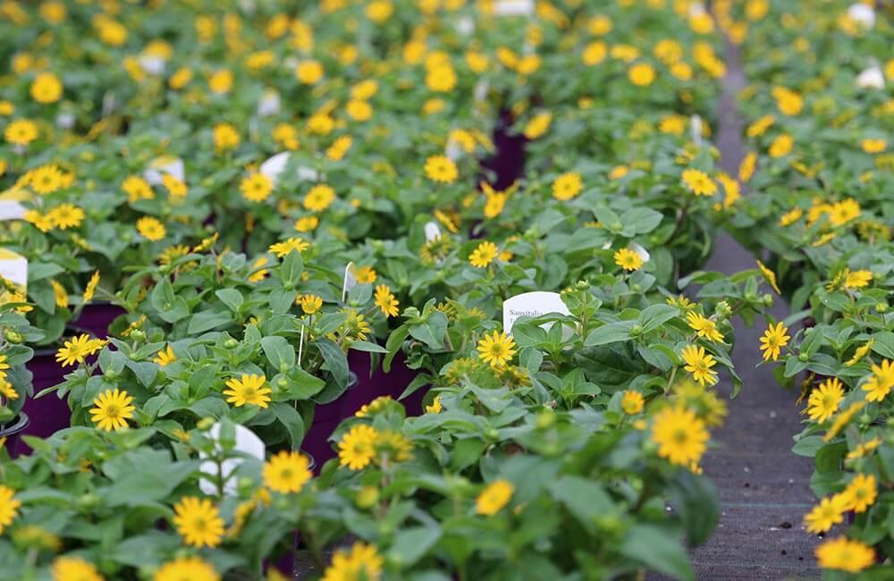 Blumen & Pflanzen - Husarenkopf-Sanvitalie-1000x650