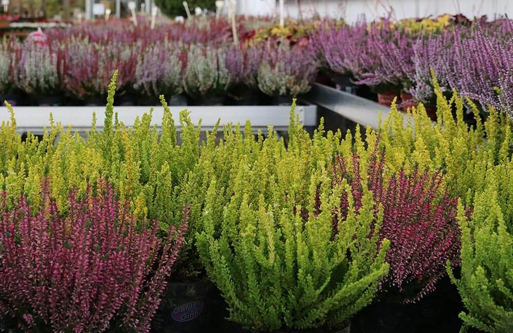 Blumen & Pflanzen - allerheiligen-gesteck-1000x650