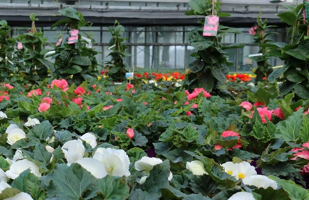 Blumen & Pflanzen - Begonien