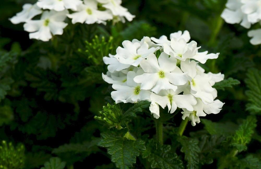 Blumen & Pflanzen - verbenen-1000x650