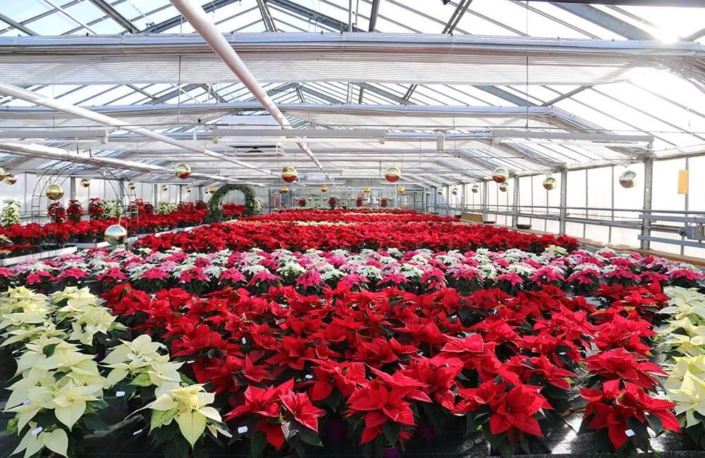 Blumen & Pflanzen - weihnachtssterne-1000x650