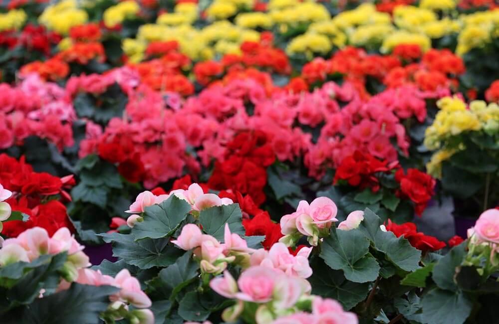 Blumen & Pflanzen - begonien-1000x650
