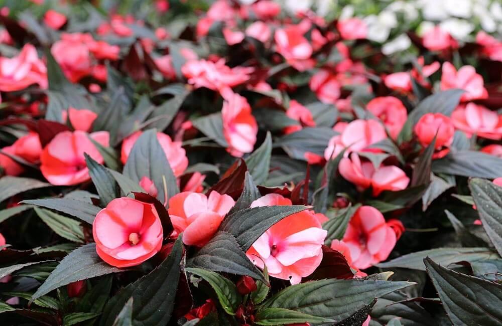 Blumen & Pflanzen - lieschen-1000x650