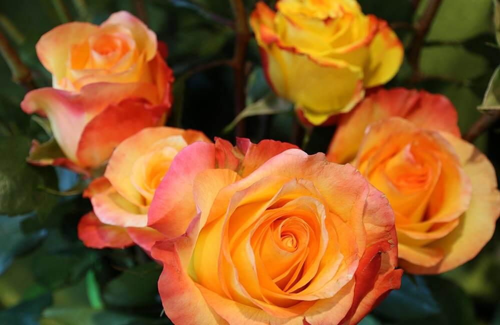 Blumen & Pflanzen - rosen-1000x650