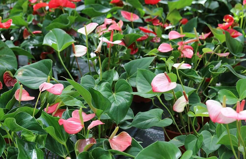 Blumen & Pflanzen - spathiphyllum-und-anthurien-1000x650
