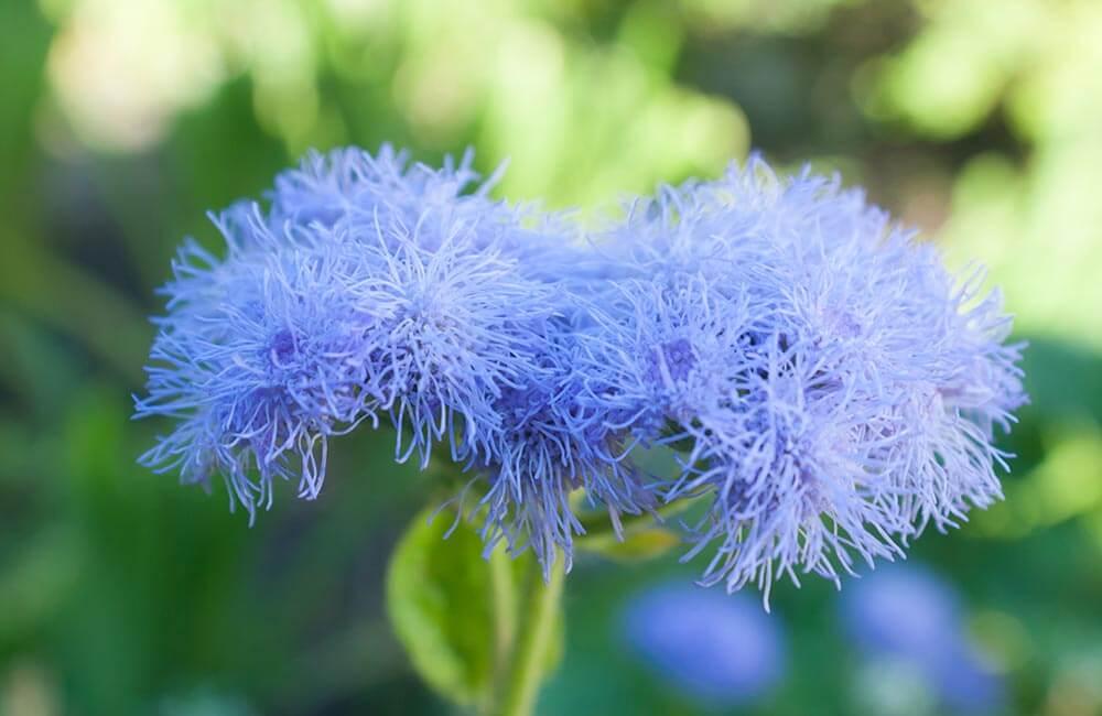 Blumen & Pflanzen - ageratum-1000x650