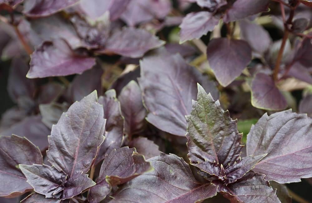 Blumen & Pflanzen - basilikum-1000x650