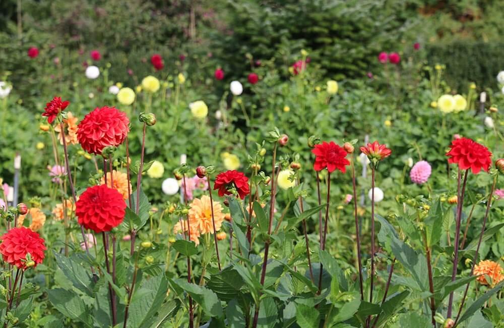 Blumen & Pflanzen - dahlien-1000x650
