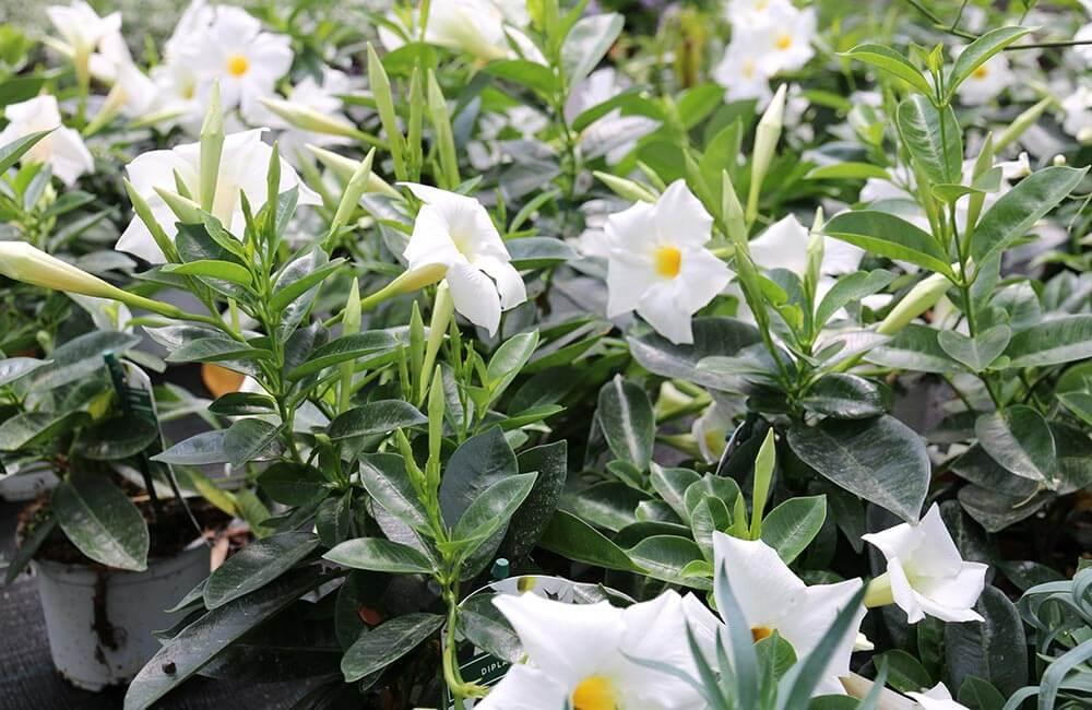 Blumen & Pflanzen - dipladenia-1000x650