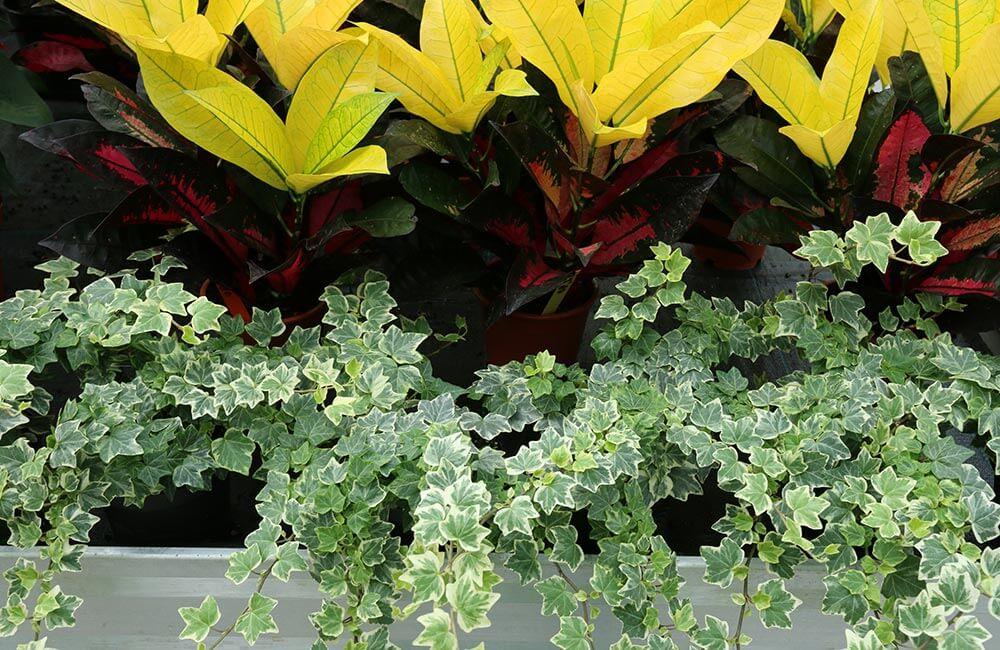 Blumen & Pflanzen - efeu-1000x650