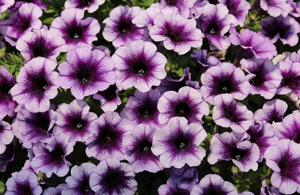 Blumen & Pflanzen - petunien-1000x650