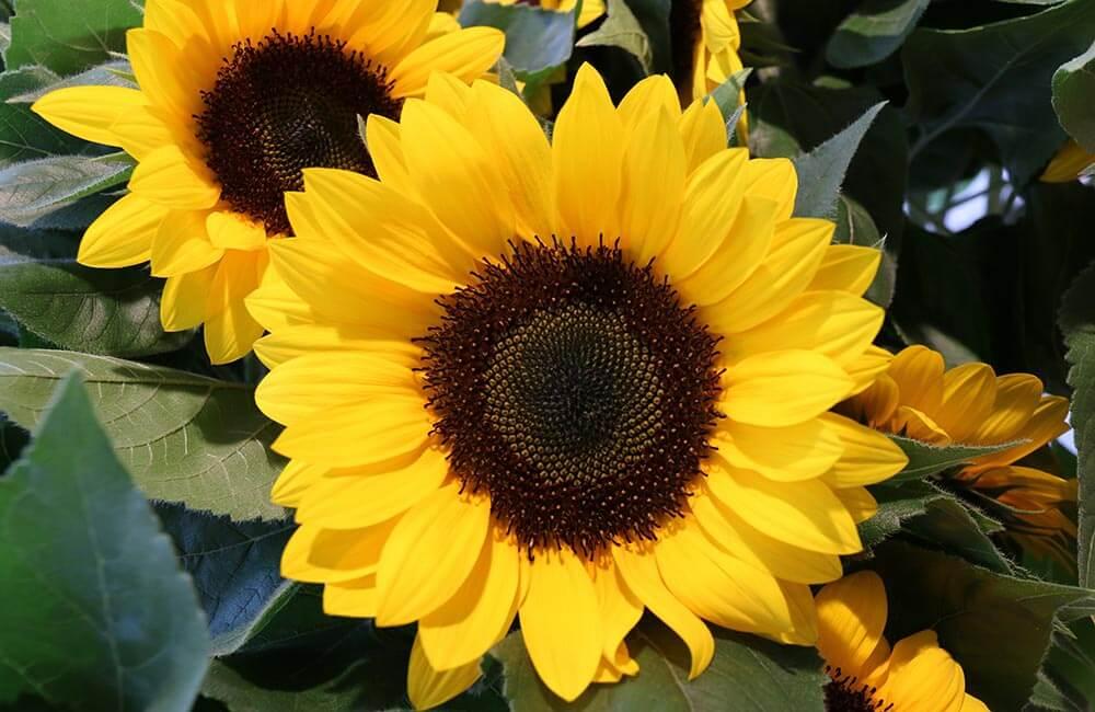Blumen & Pflanzen - sonnenblumen-1000x650