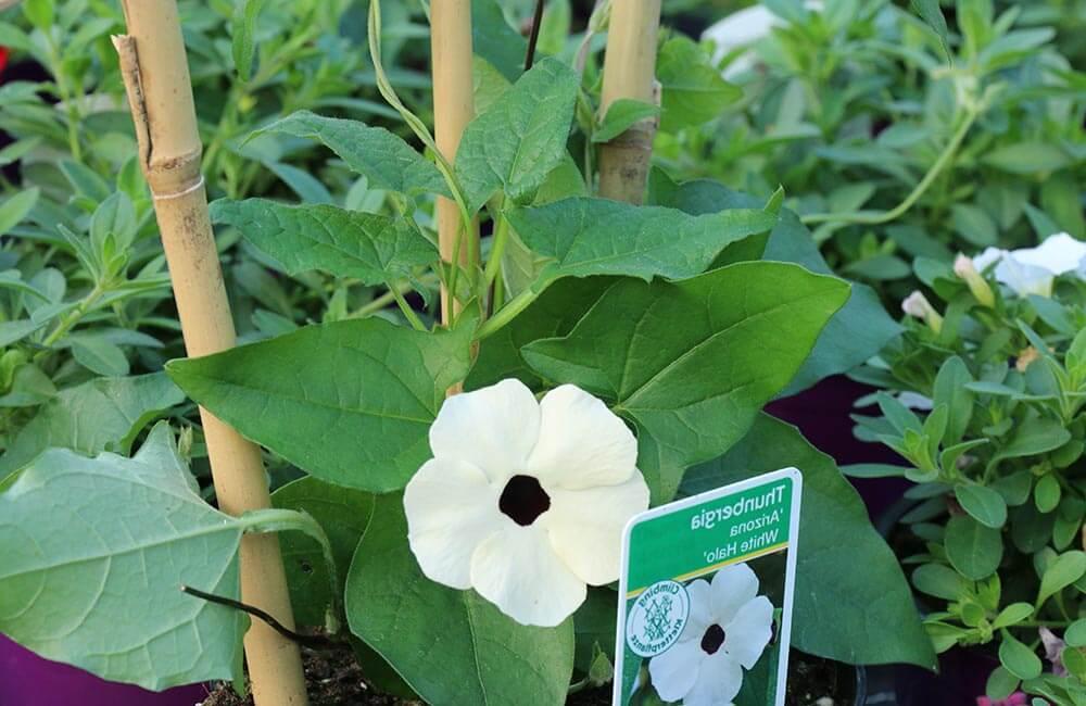 Blumen & Pflanzen - thunbergia-1000x650
