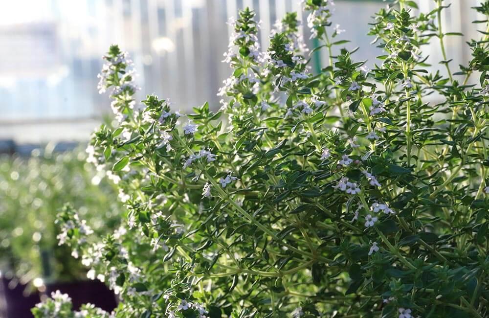 Blumen & Pflanzen - thymian-1000x650