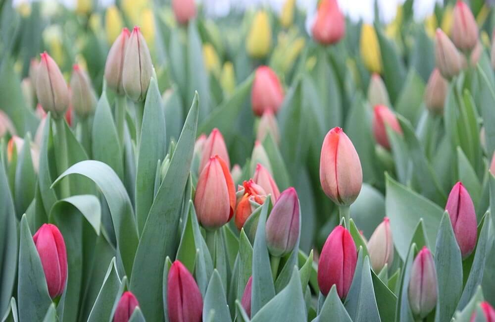 Blumen & Pflanzen - tulpen-1000x650