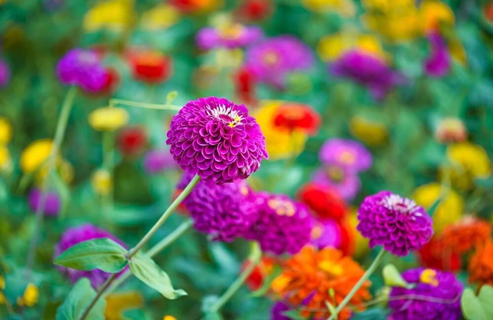 Blumen & Pflanzen - zinnien-1000x650