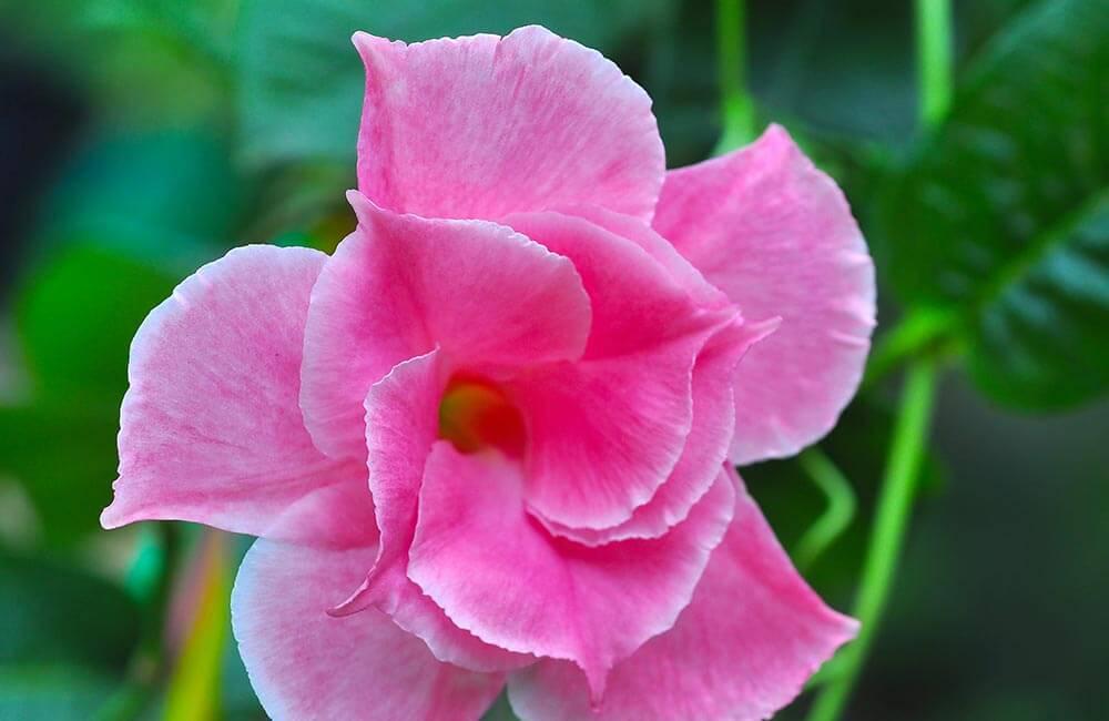 Blumen & Pflanzen - mandevilla-1000x650-2